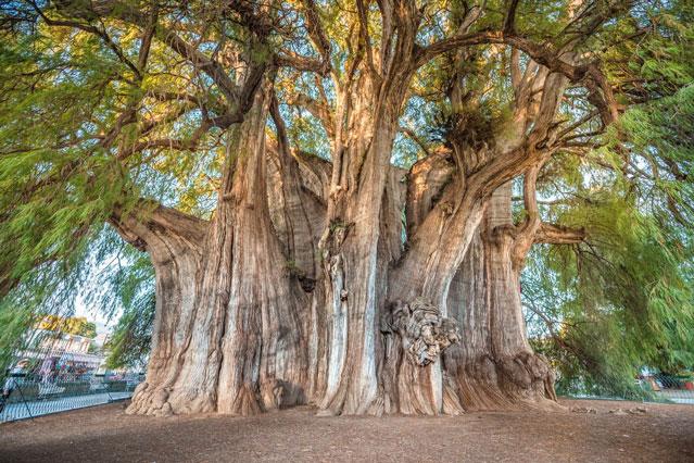 Kinh ngạc loài cây hơn 2.000 năm tuổi vẫn phát triển tốt, chu vi gần 50 mét