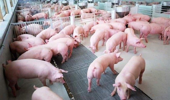 """Giá lợn hơi lại """"chạm đáy"""": Giải pháp nào cho việc bình ổn giá thịt lợn?"""